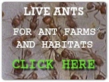 picture of live ants link to buy live ants for ant farms and ant habitats